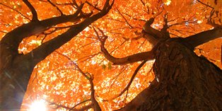 the brilliant fall leaves of a sugar maple tree seen from below