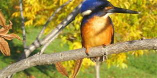 an Azure Kingfisher in a tree