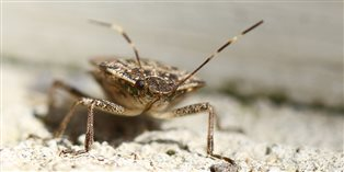 photo of a stink bug