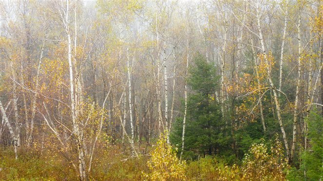 birches in autumn in the Catskill Mountains